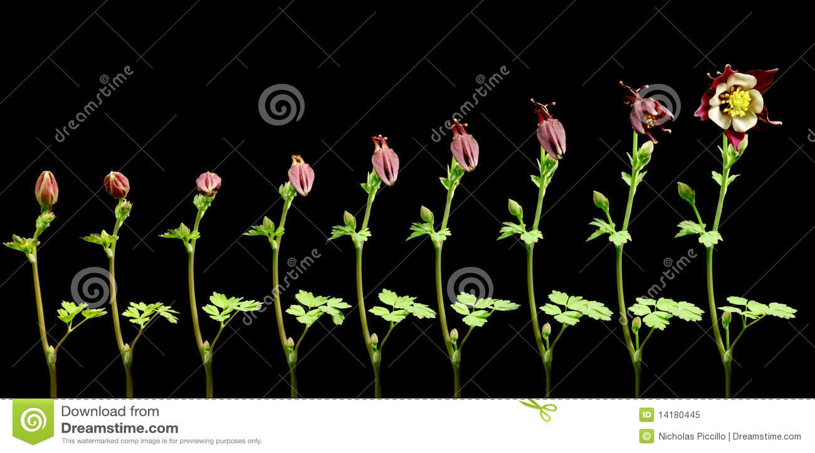 Columbine Flower Timelapse stock image  Image of progress