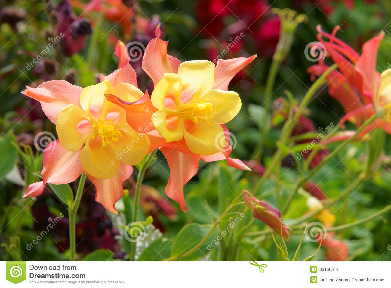 columbine flowers stock photography  image, Beautiful flower