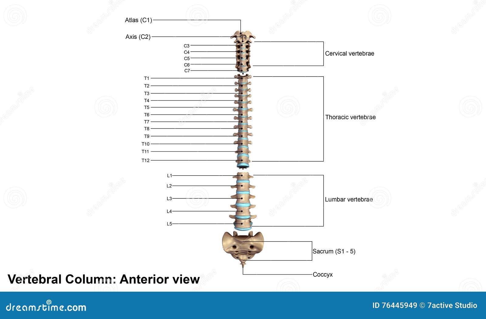Columna vertebral humana stock de ilustración. Ilustración de huesos ...