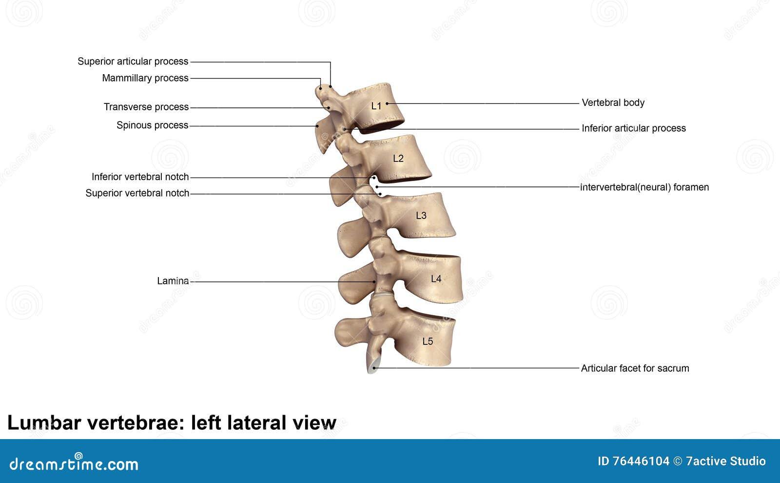 Columna Vertebral Lumbar Humana Stock de ilustración - Ilustración ...