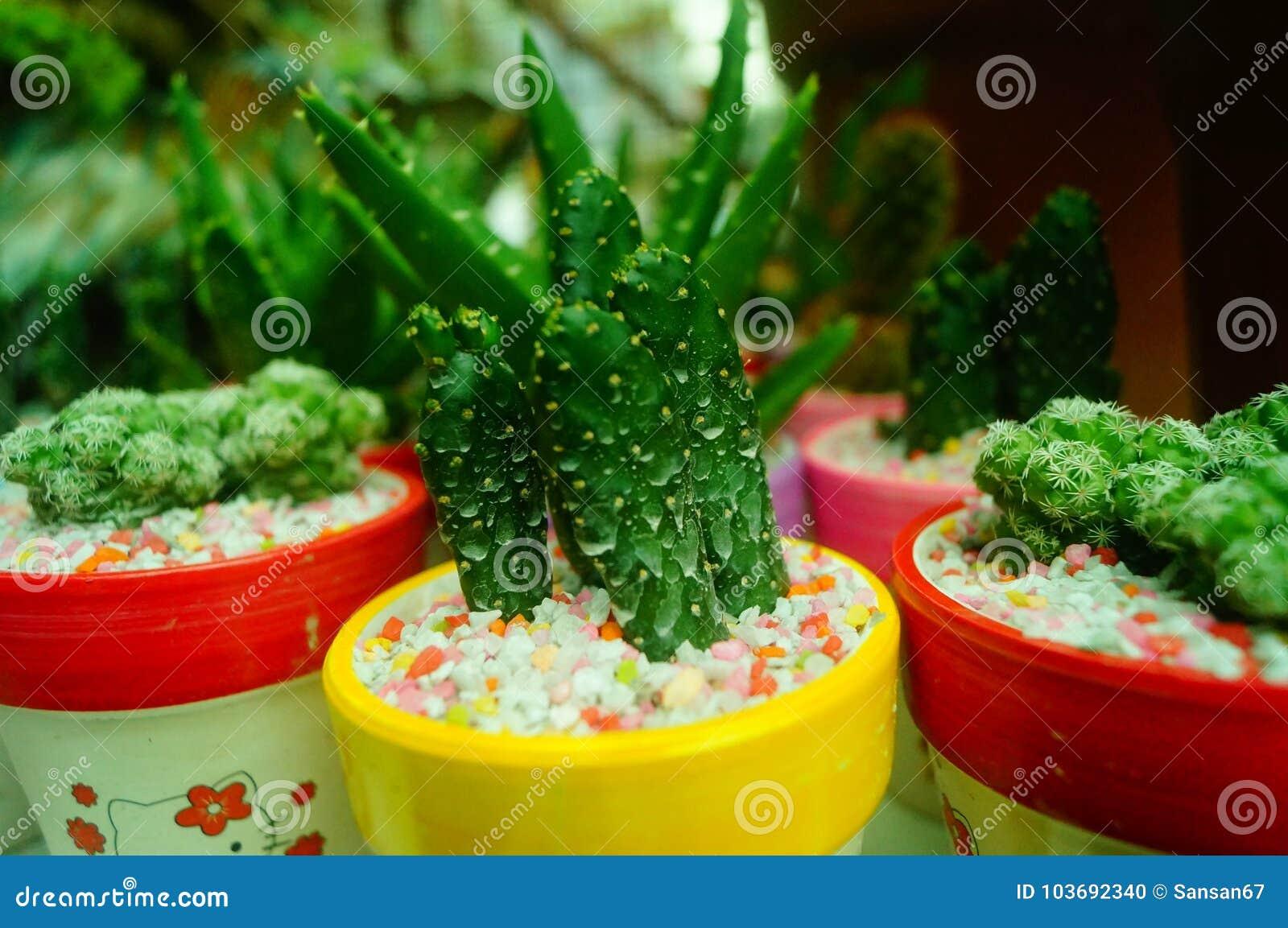 Columnar kaktussuckulenter