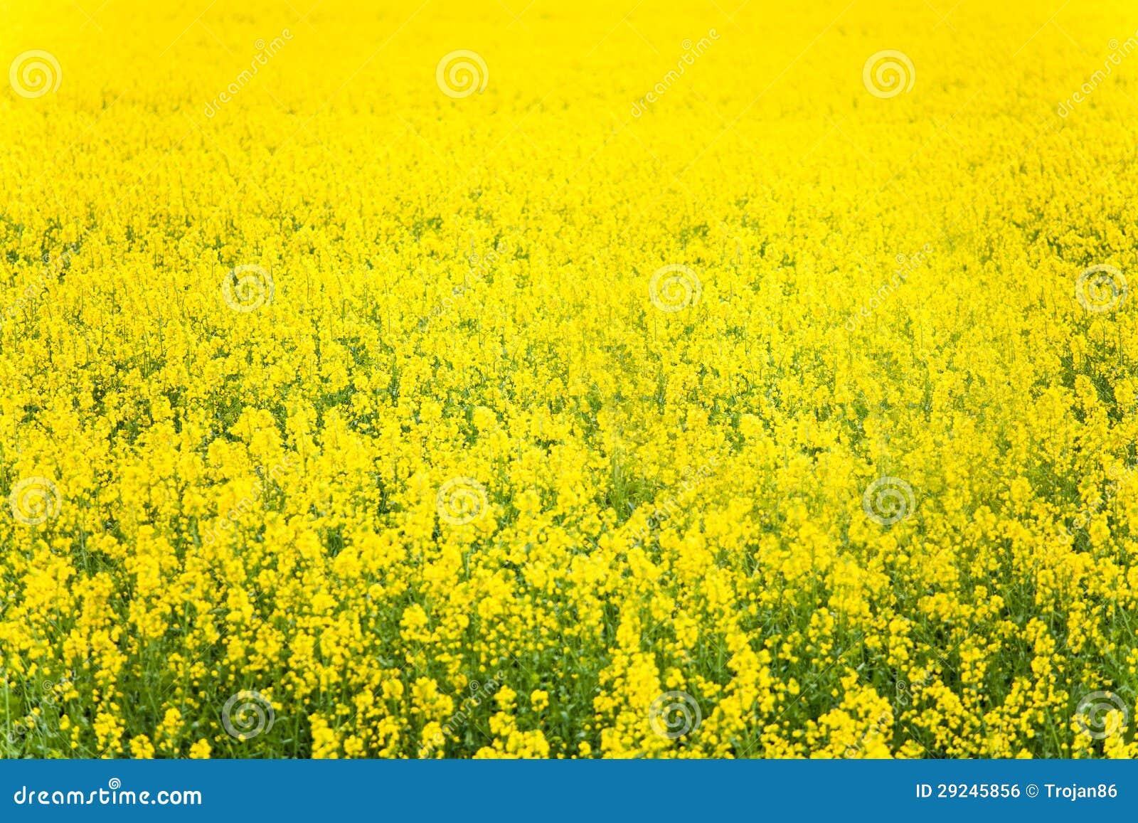 Download Colza amarela do campo foto de stock. Imagem de crescimento - 29245856