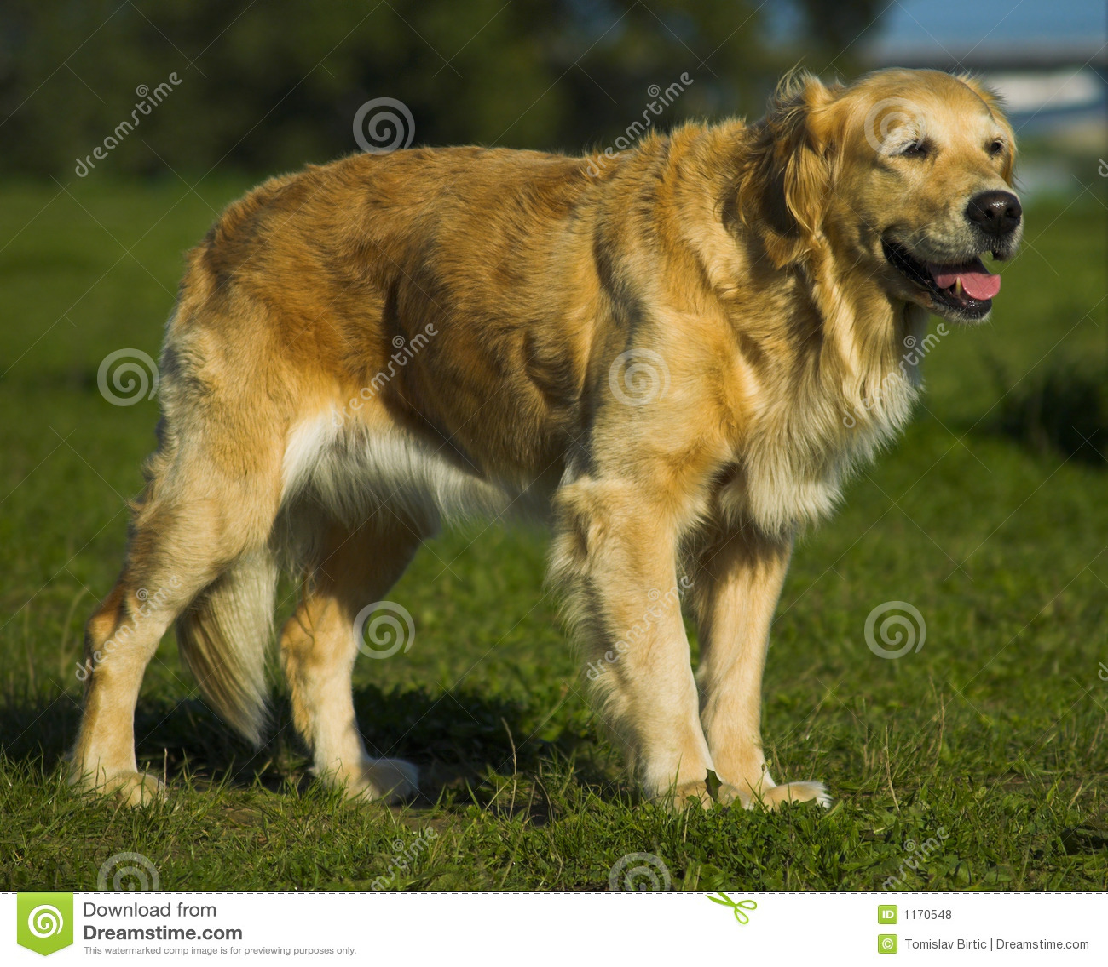Comando que espera del perro perdiguero de oro para