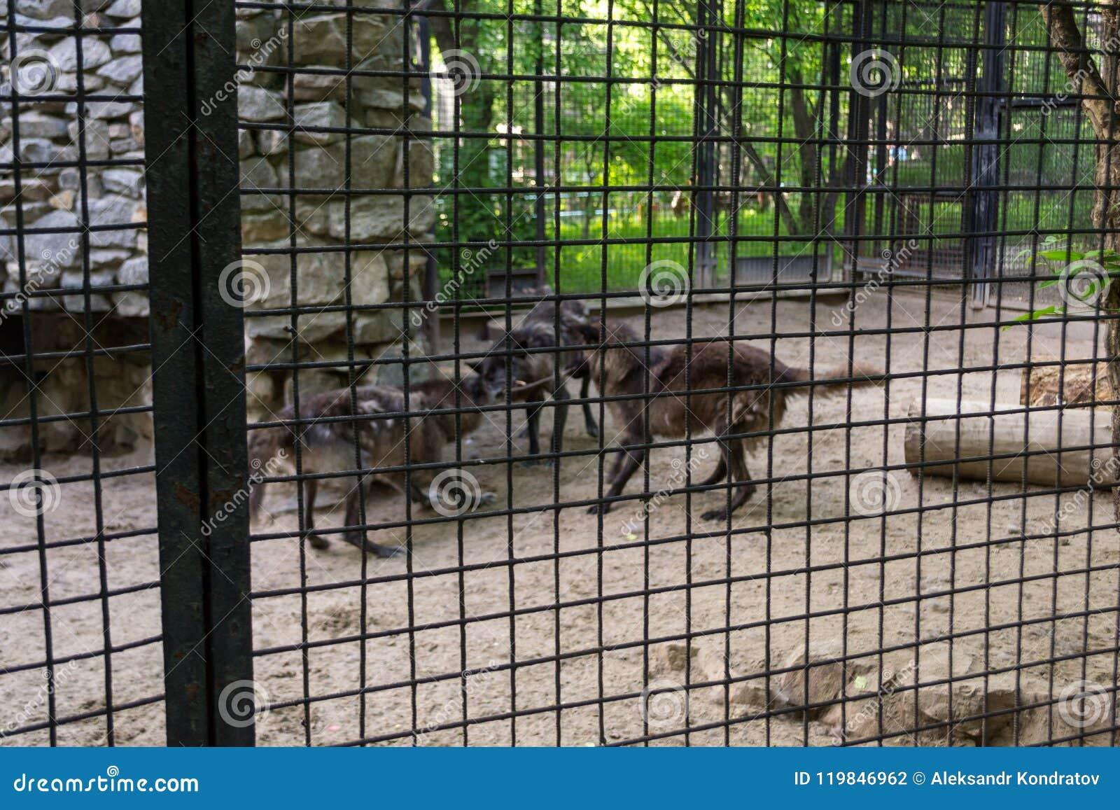 Combat affamé noir de trois loups