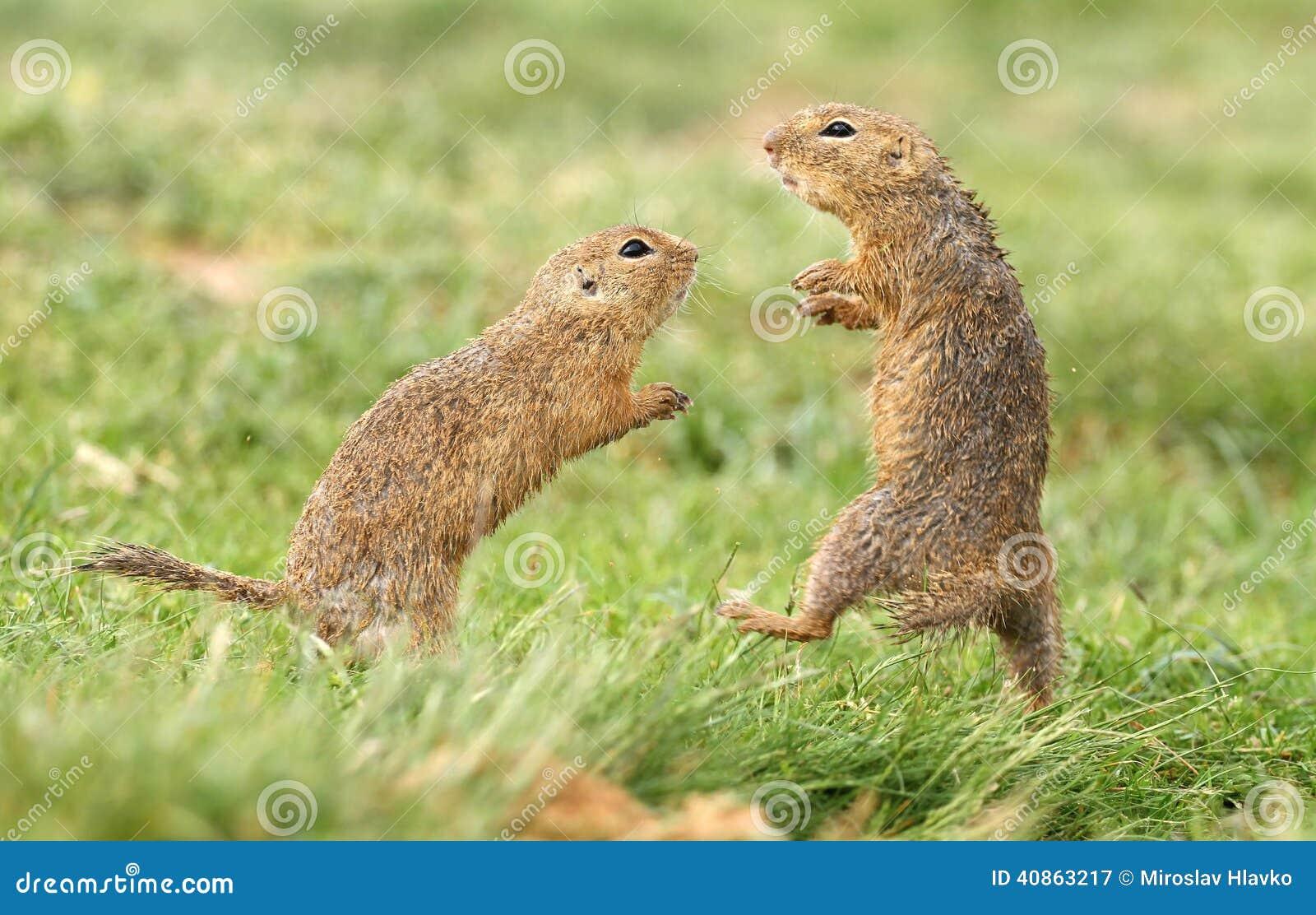 Combat d écureuil moulu