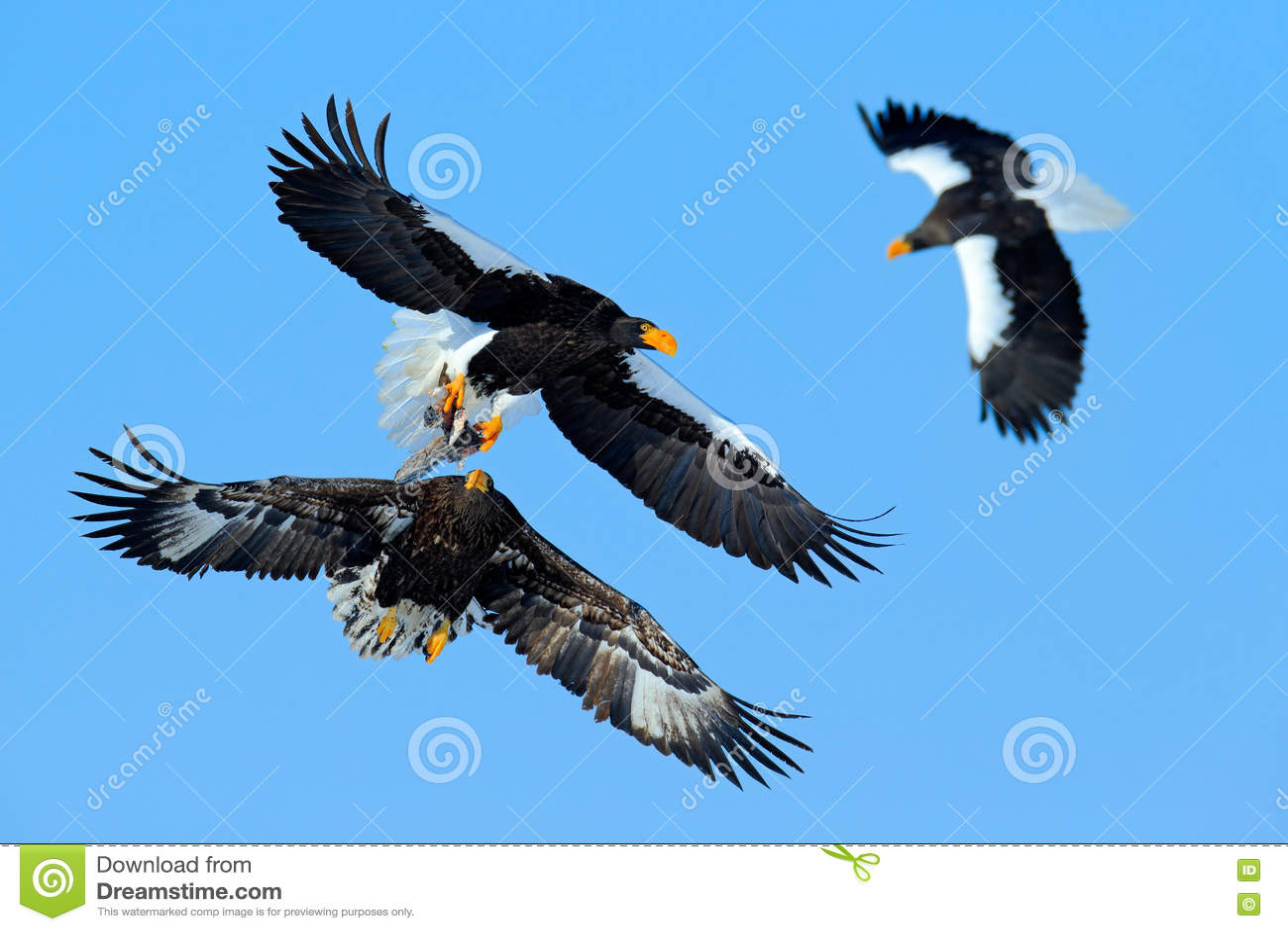 Combat d Eagle sur le ciel bleu Scène de comportement d action de faune de nature Vol d Eagle avec des poissons Bel aigle de mer