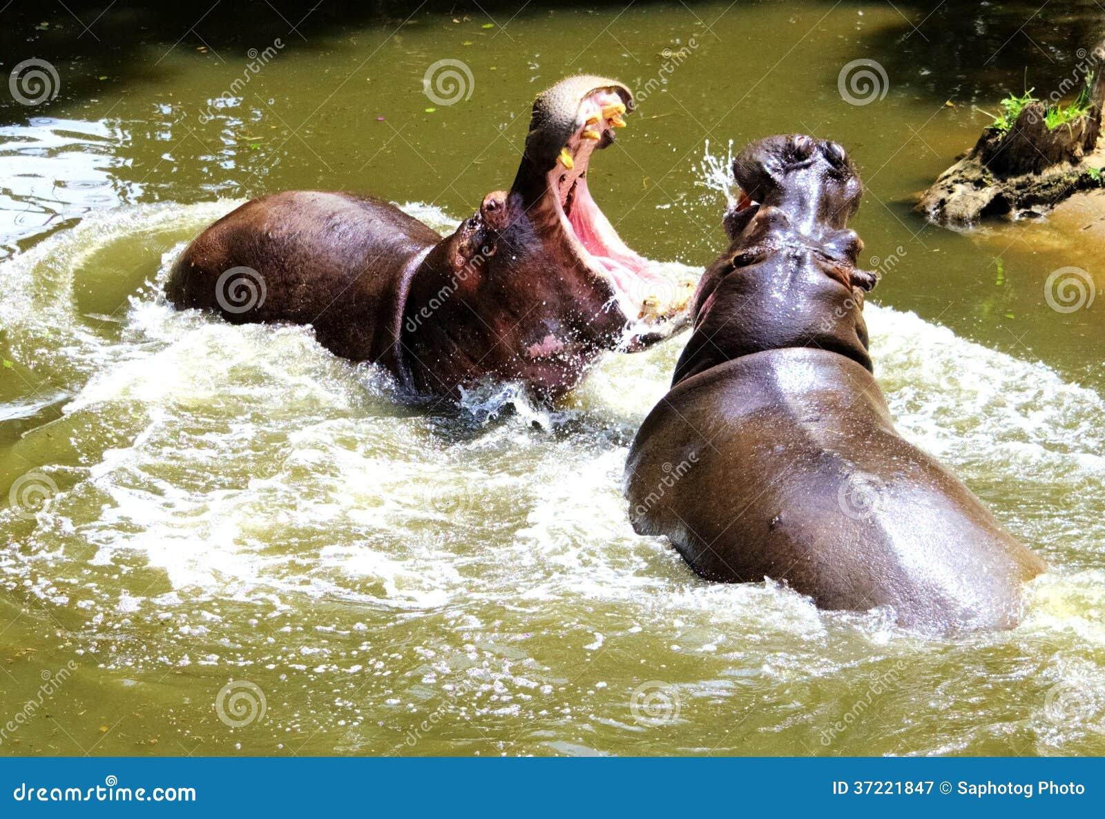 Combat d hippopotame