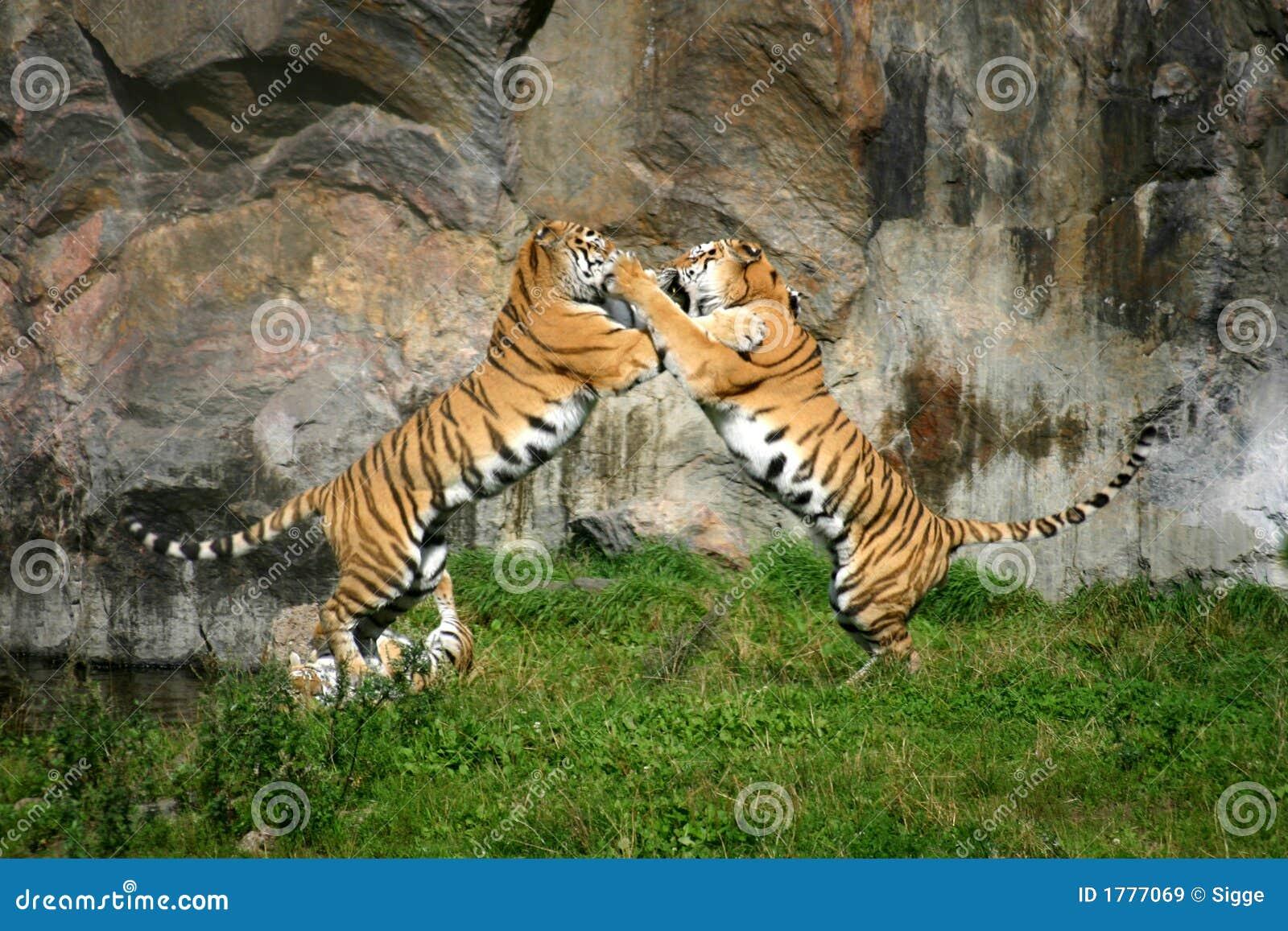 Combat de tigre images libres de droits image 1777069 - Images tigres gratuites ...