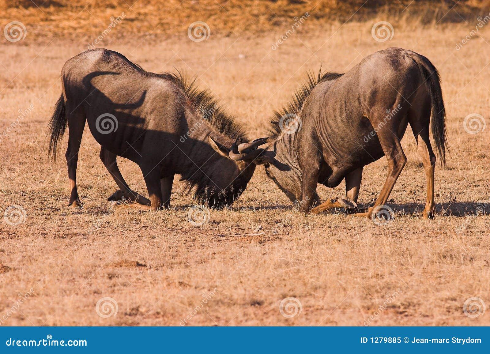 Combat de Wildebeest