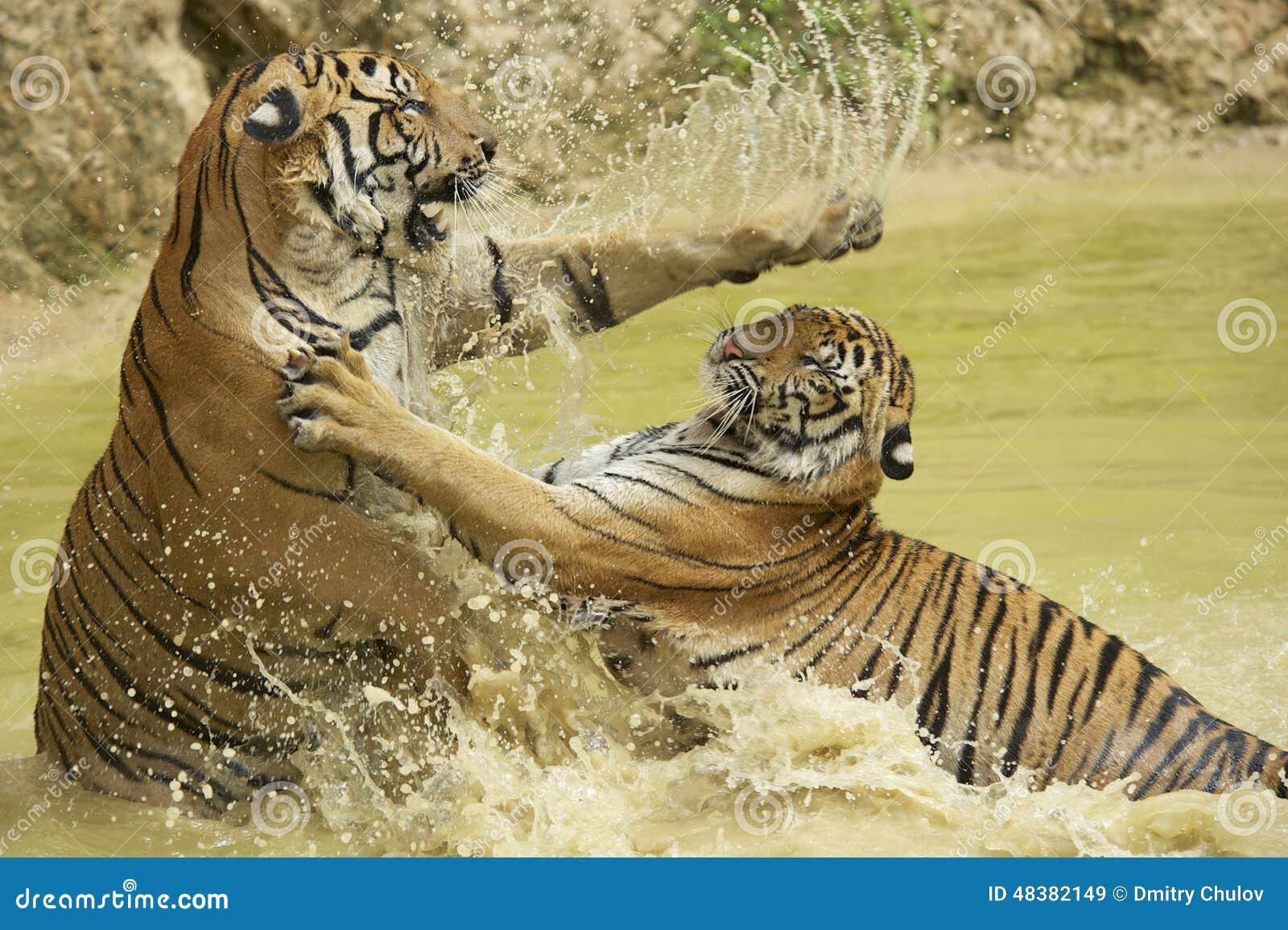 Combat indochinois adulte de tigres dans l eau