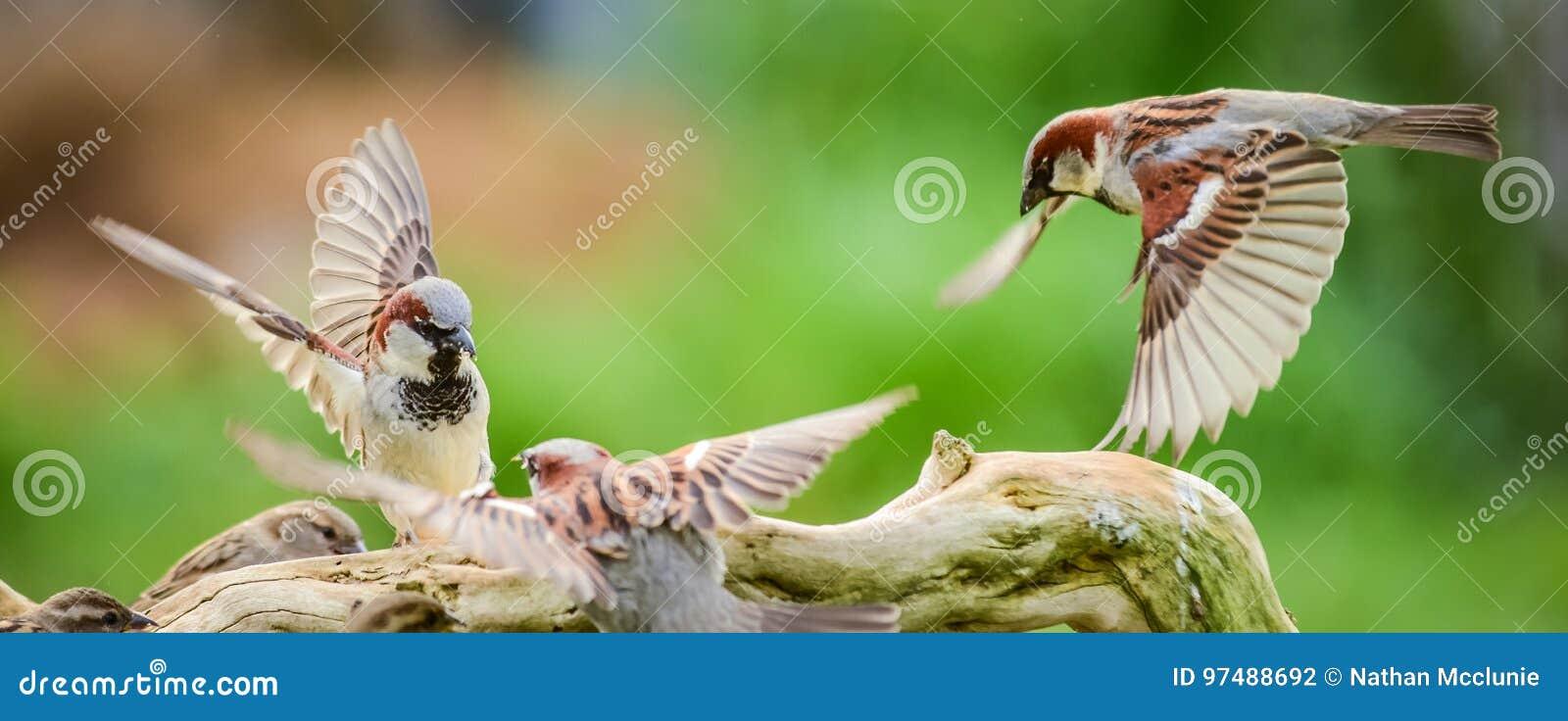Combattimento dei passeri