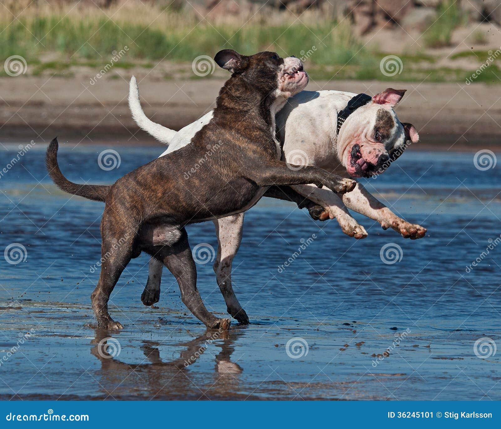 American pitbull red american bulldog blue american bulldog puppies