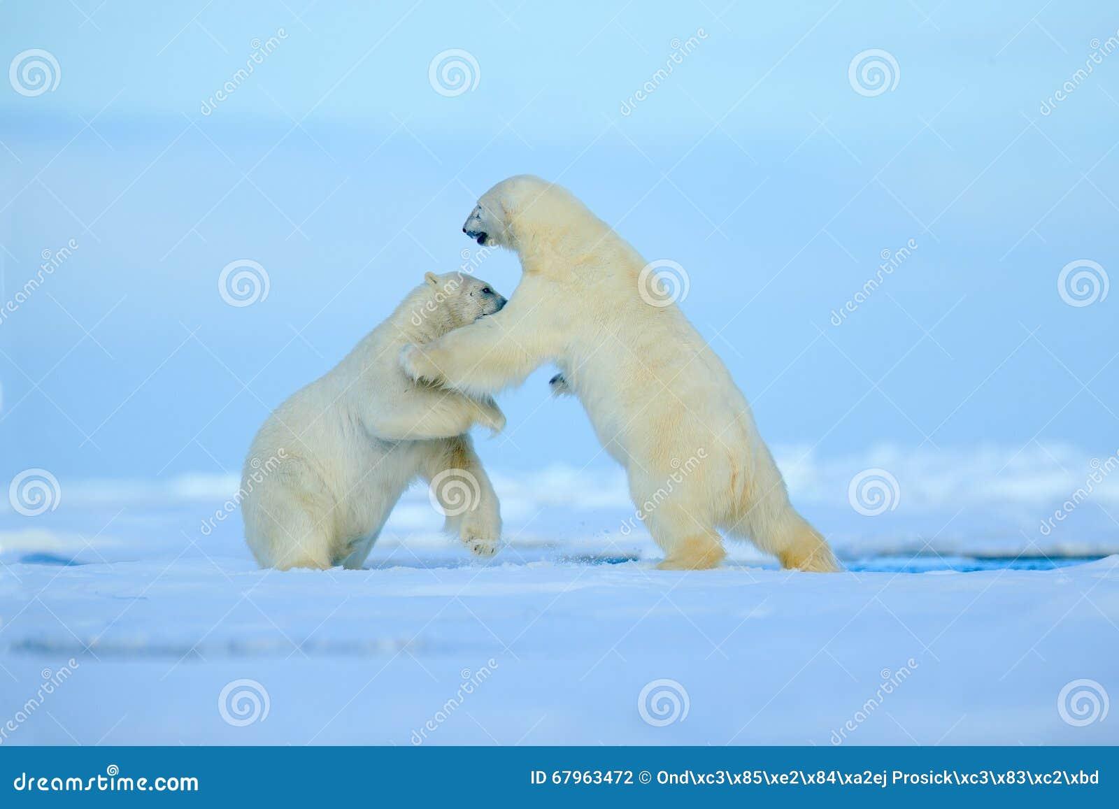 Combattimento dell orso polare due sul ghiaccio galleggiante nel arctict le Svalbard