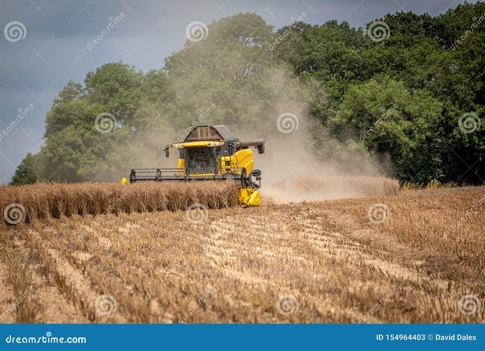 Combine a ceifeira na violação de semente oleaginosa