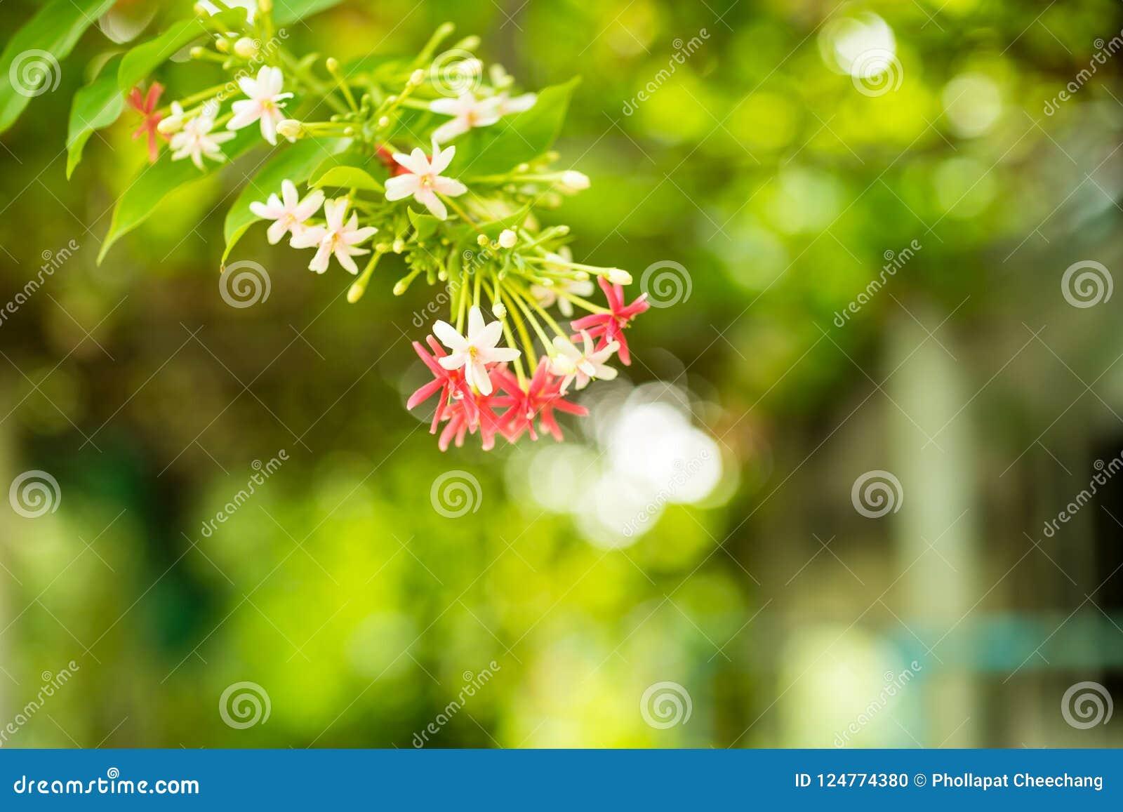 Combretum indicum rangoon flowers petal colorful beautiful flowers download combretum indicum rangoon flowers petal colorful beautiful flowers in nature background stock photo image izmirmasajfo