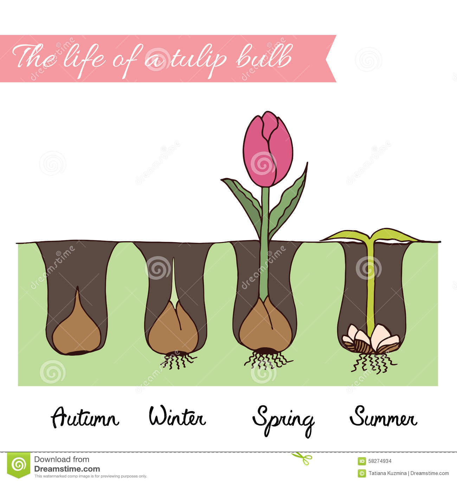 Come Si Piantano I Tulipani come piantare i tulipani illustrazione vettoriale