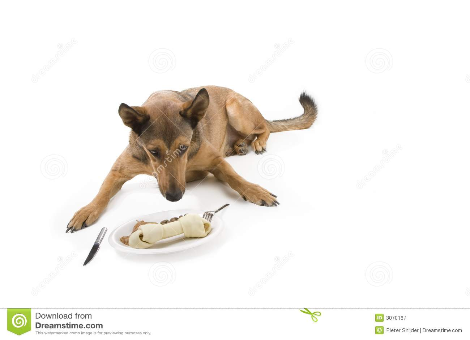 Comensal belga de Malinois y del perro