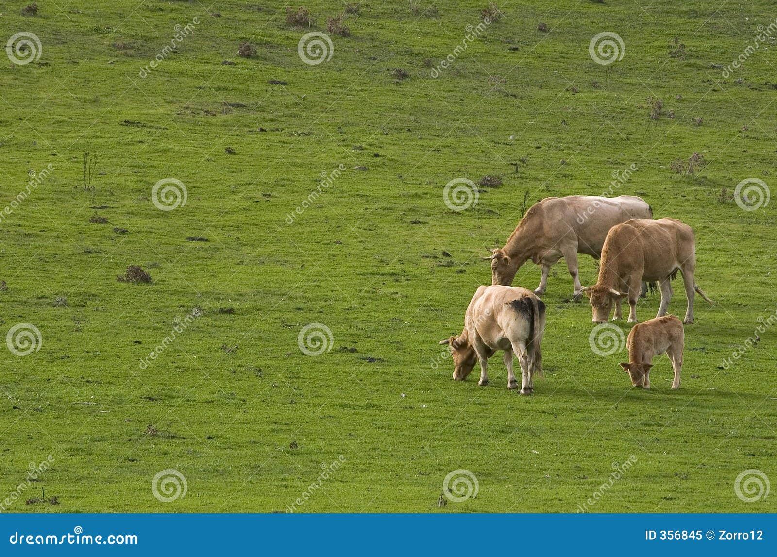 Comer vacas