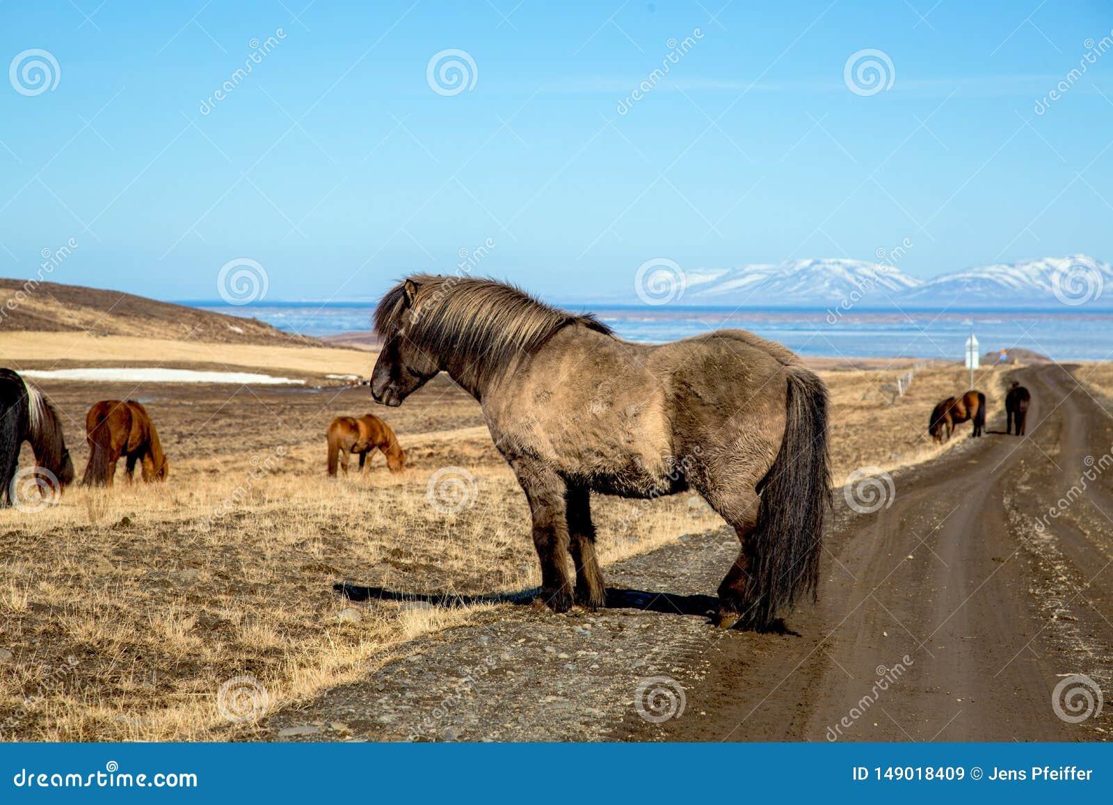 Comfortabel Ijslands paard op de straat