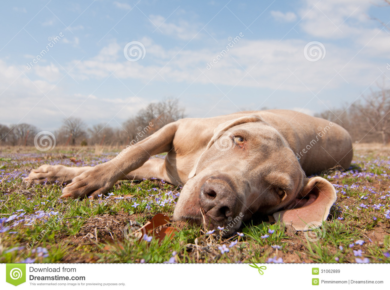 Comical image of a Weimaraner dog being lazy