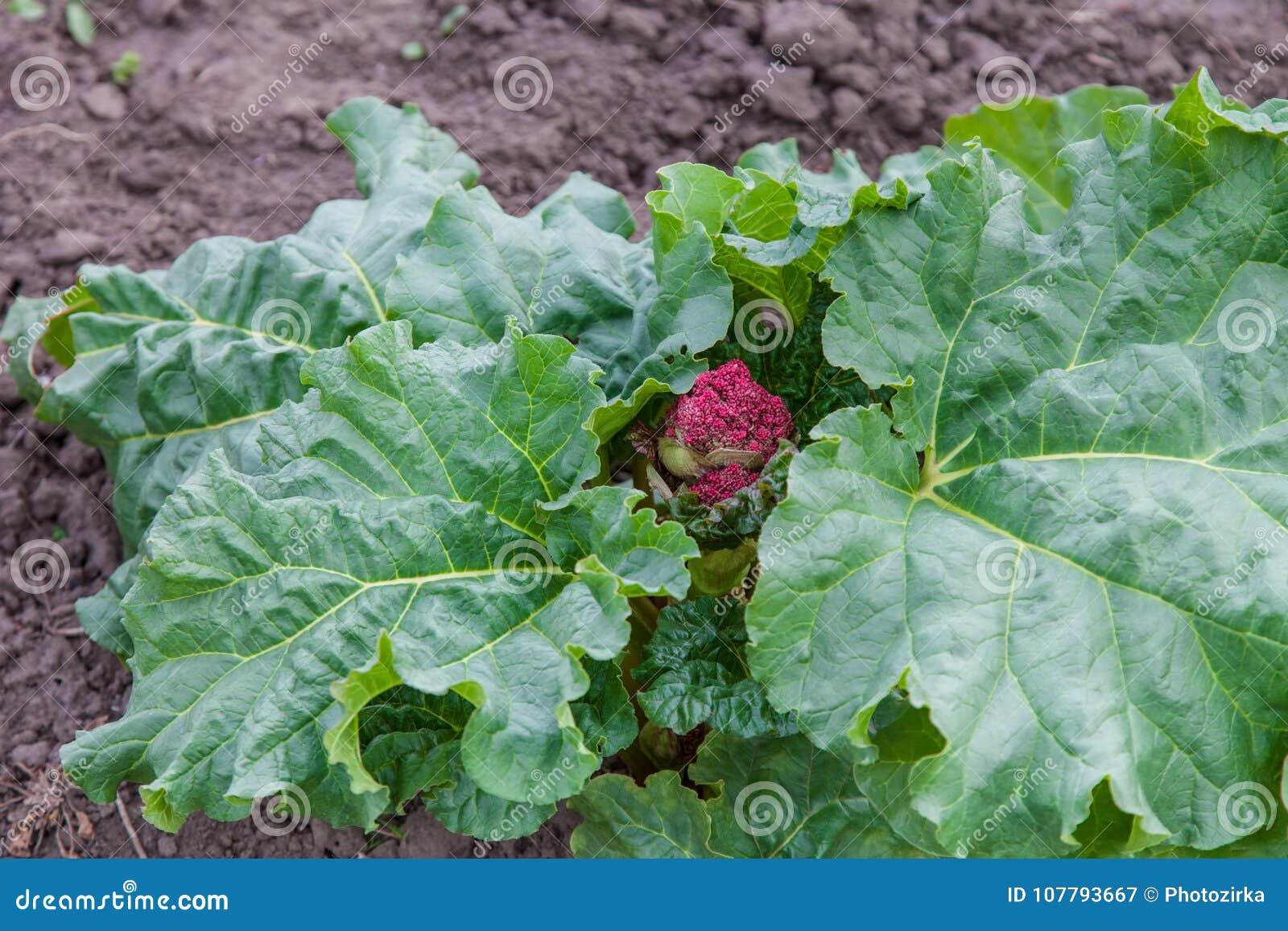 Comienzo del brote del ruibarbo al flor