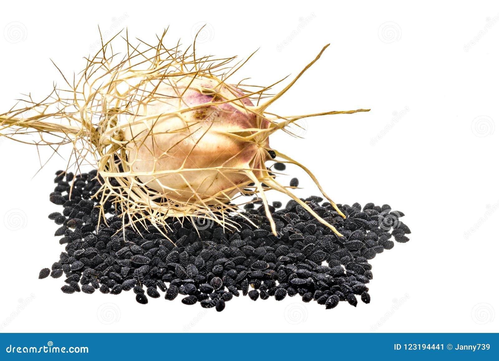 Cominhos preto com vagens e folhas da semente