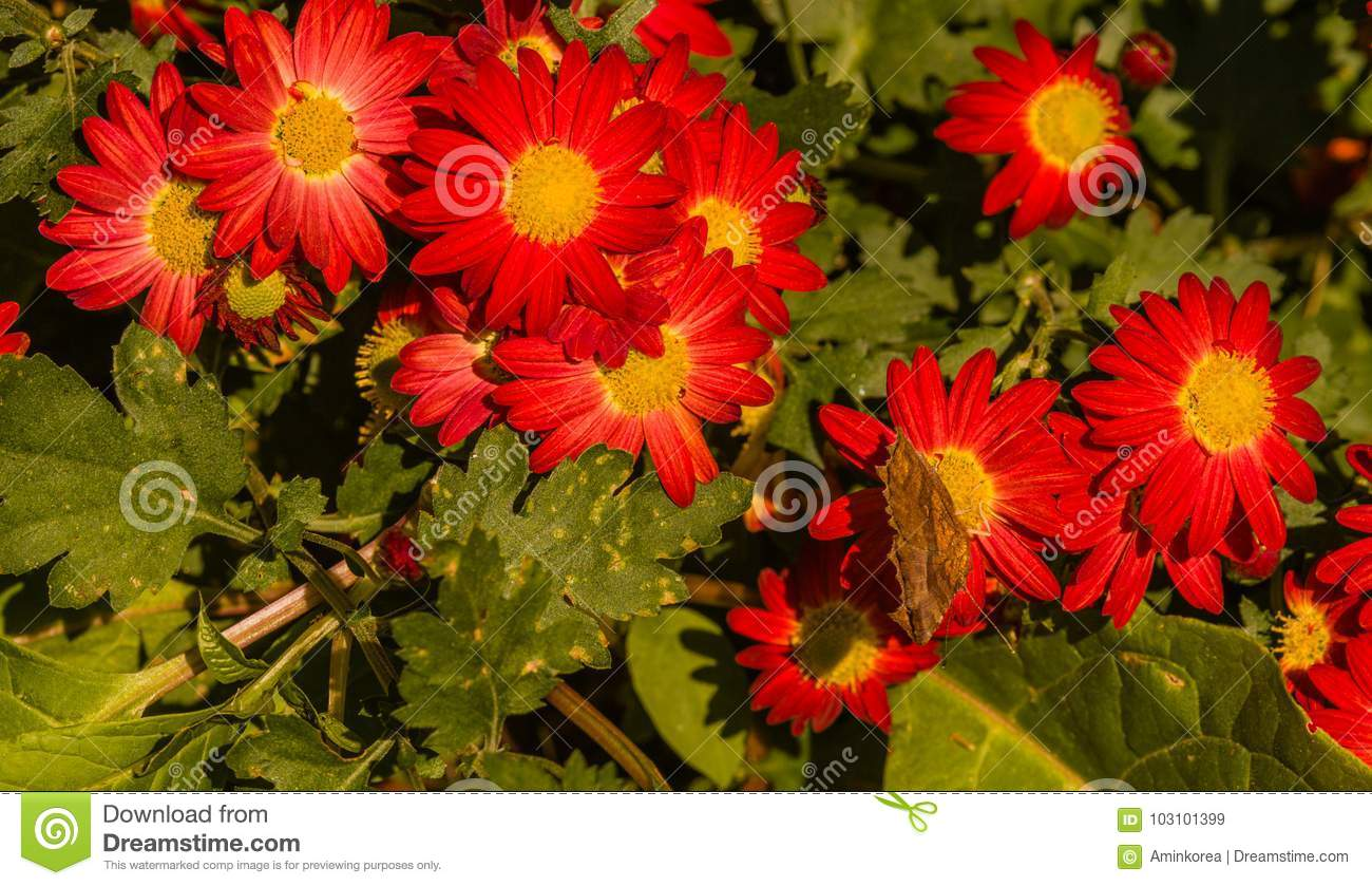 The comma butterfly on a red flower stock image image of the comma butterfly on a red flower with yellow center with comma visible on side of wing mightylinksfo