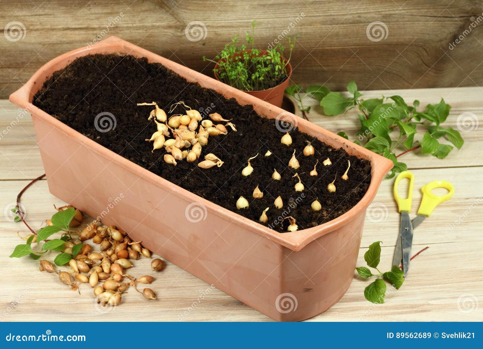 Comment Cultiver Les Oignons comment cultiver rapidement l'oignon complète des ampoules