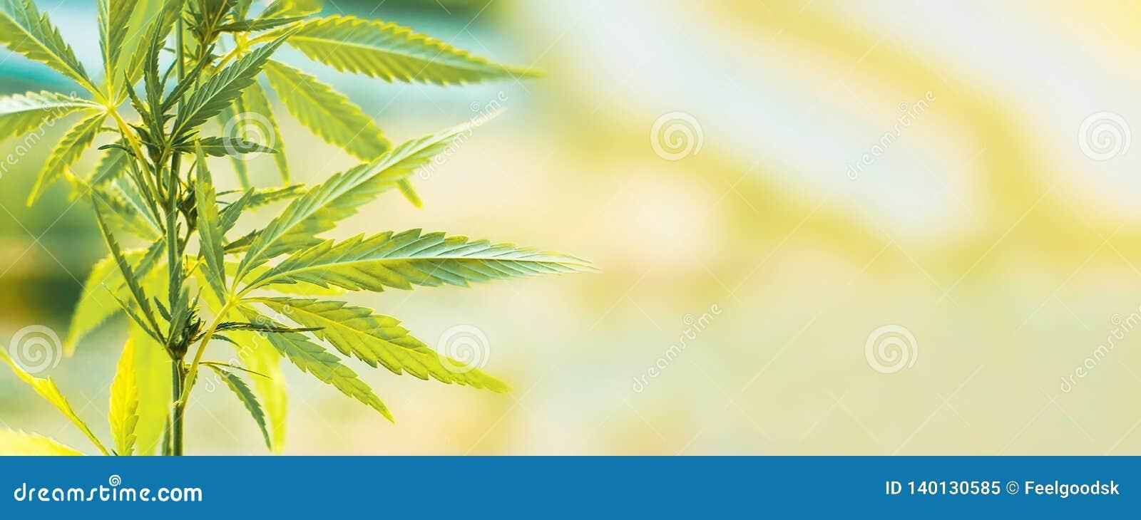 Commerciële de cannabis groeit Concept kruiden alternatieve geneeskunde, CBD-olie