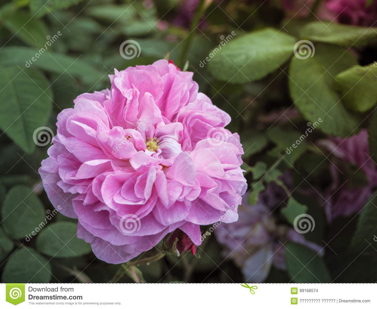 Varietal roses commercial cultivation of flowers for bouquets commercial cultivation of flowers for bouquets fragrant rose stock photo izmirmasajfo