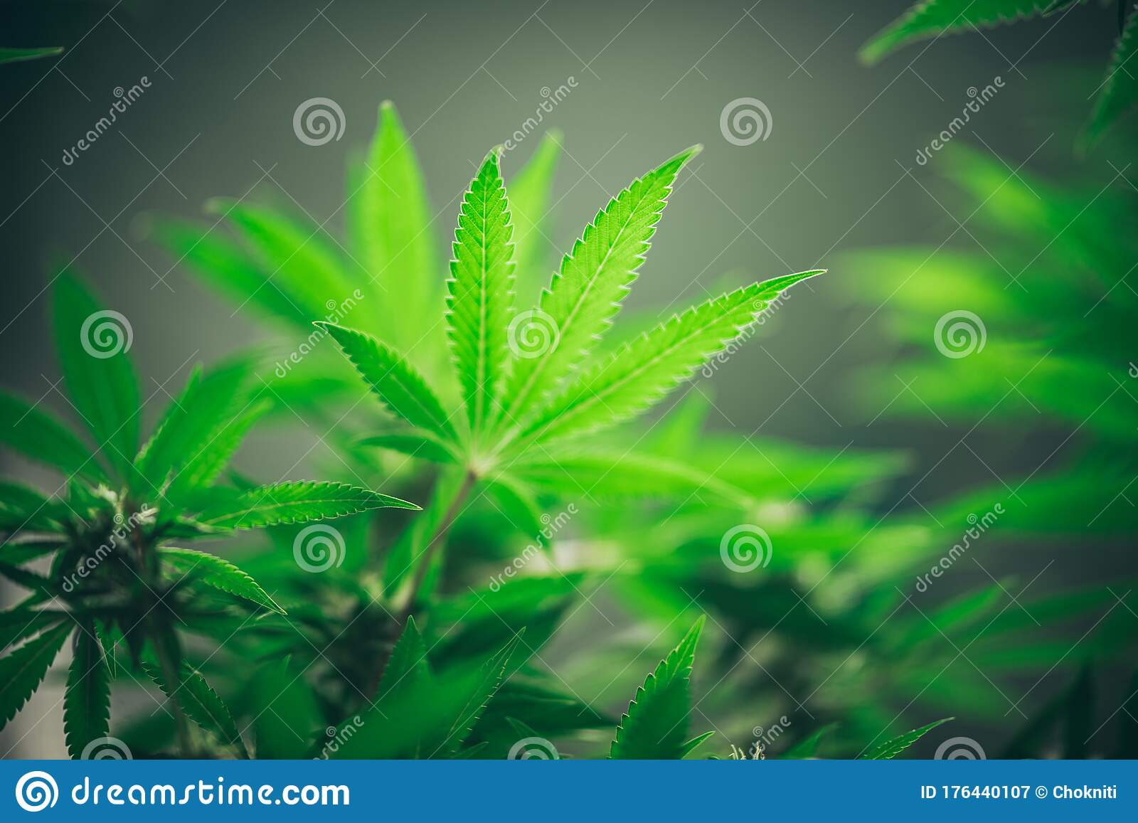 Commercial Hemp Farming In A Greenhouse Industrial Hemp Grown To Produce Cbd Oil And Other Hemp Derived Products Stock Image Image Of Green Hothouse 176440107