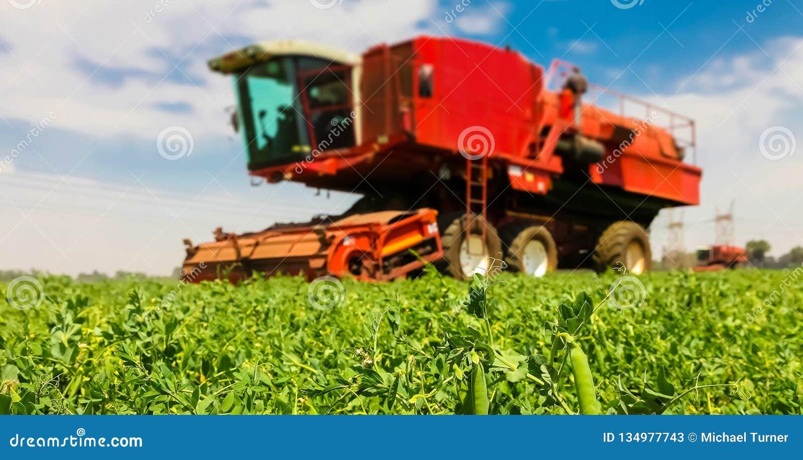 Commercieel Pea Farming Close omhoog van een peul van erwten