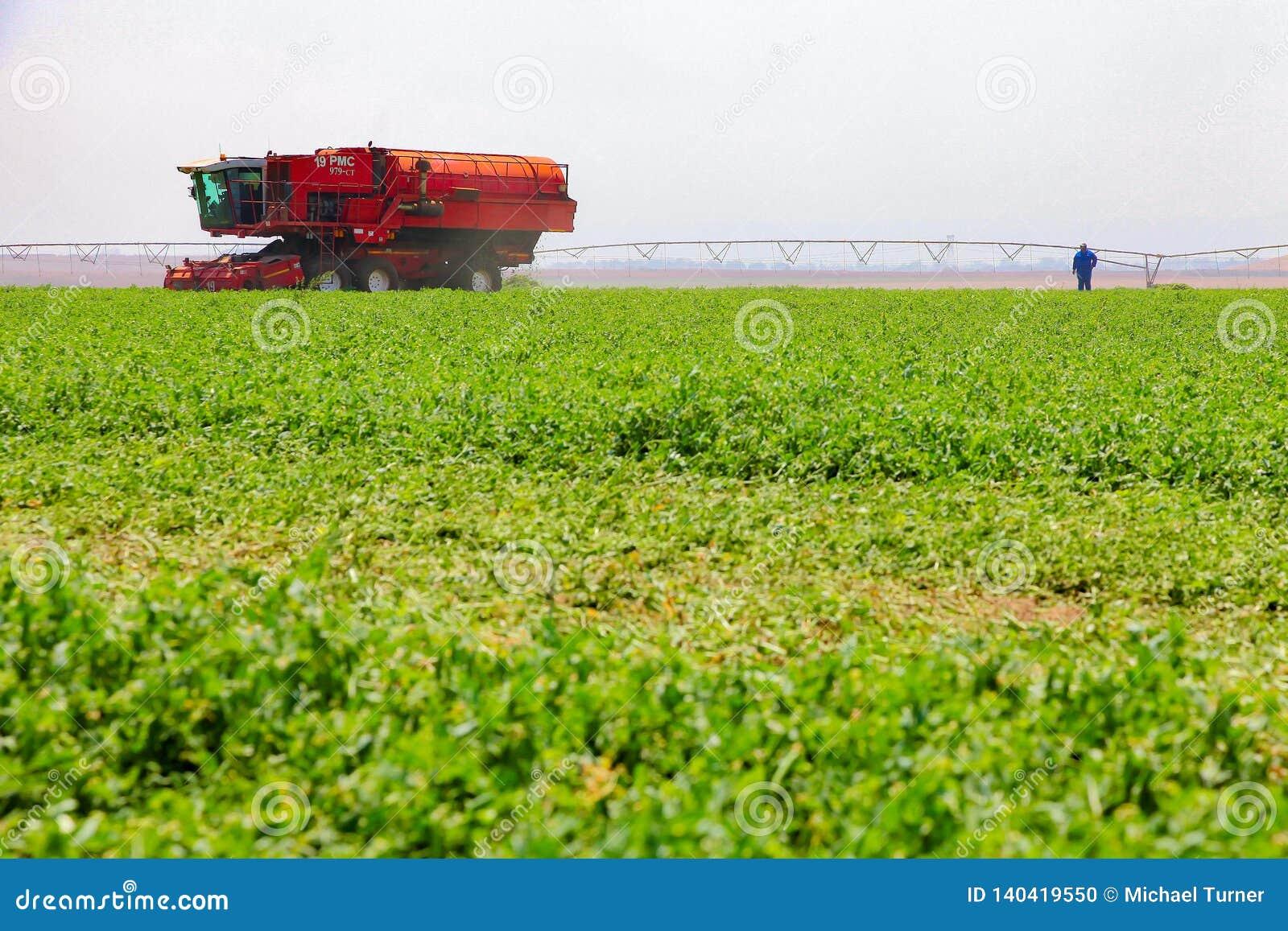 Commercieel Pea Farming met een Combine Maaidorser