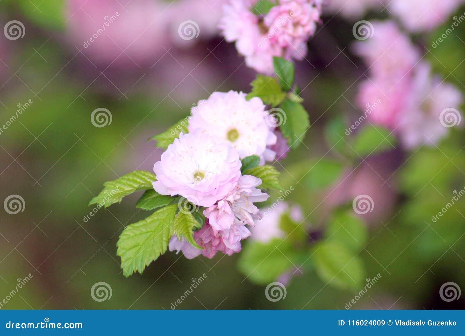 Flowering Almond Bush Stock Image Image Of Blue Leaf 116024009