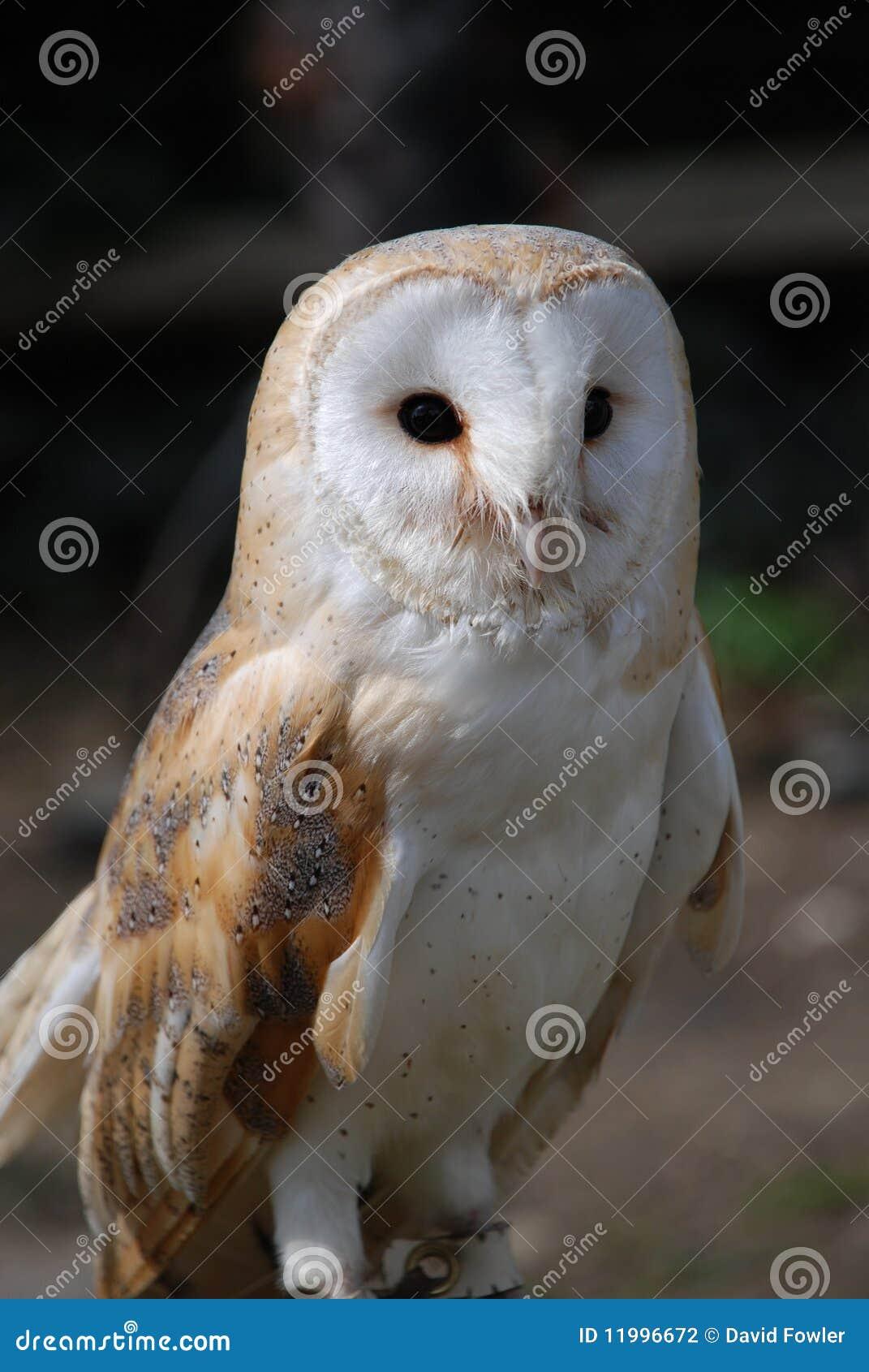 Common Barn Owl stock photo. Image of bird, beak, wildlife ...
