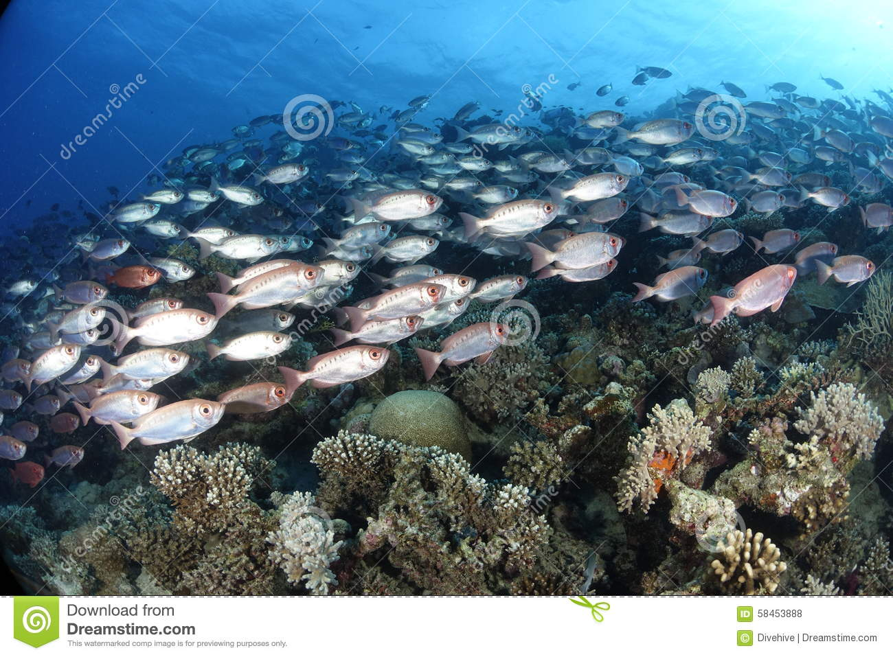 Common bigeyes on a reef in the Red Sea