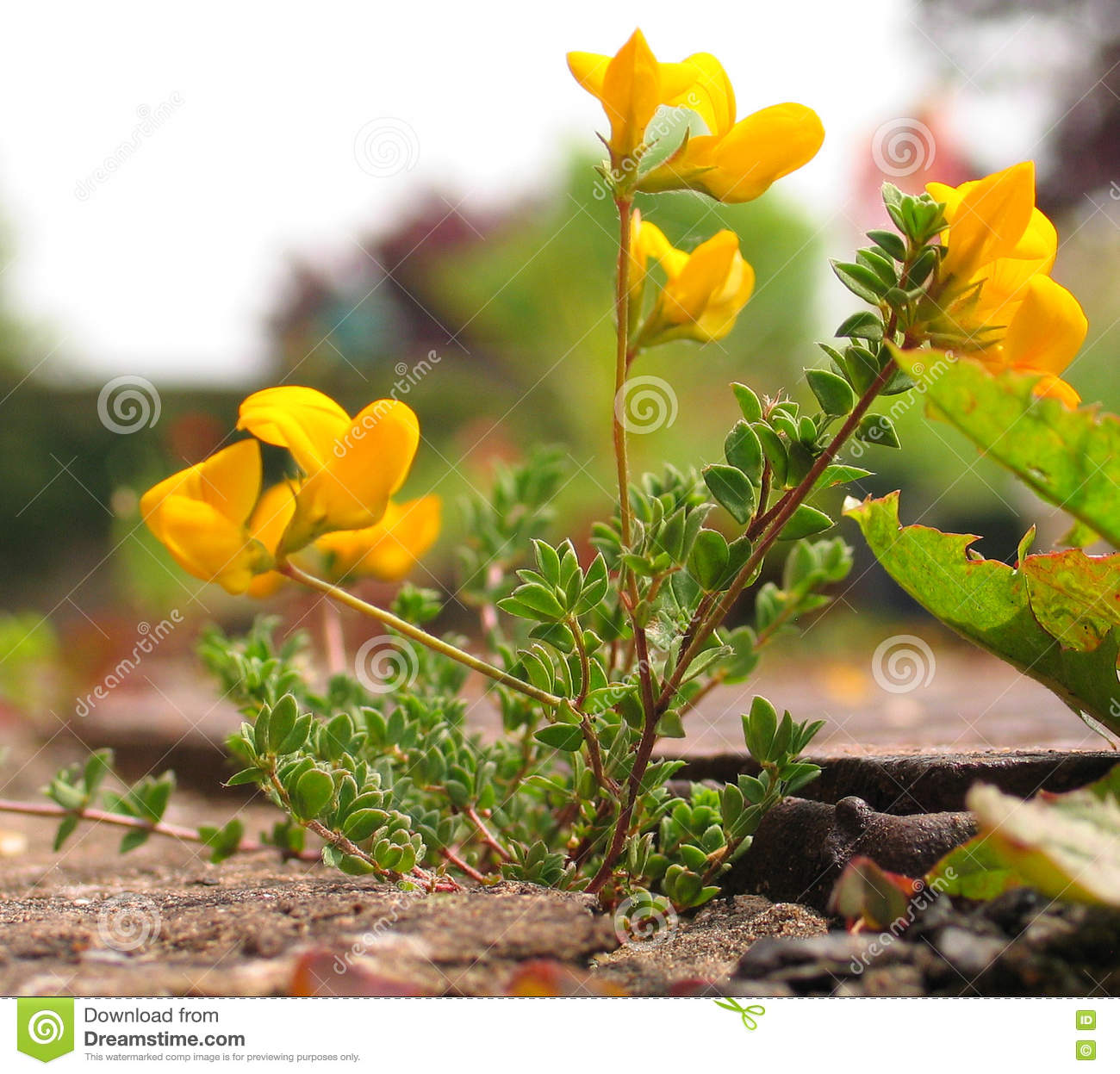 Common Birds Foot Trefoil Stock Photo Image Of Weed 75102216