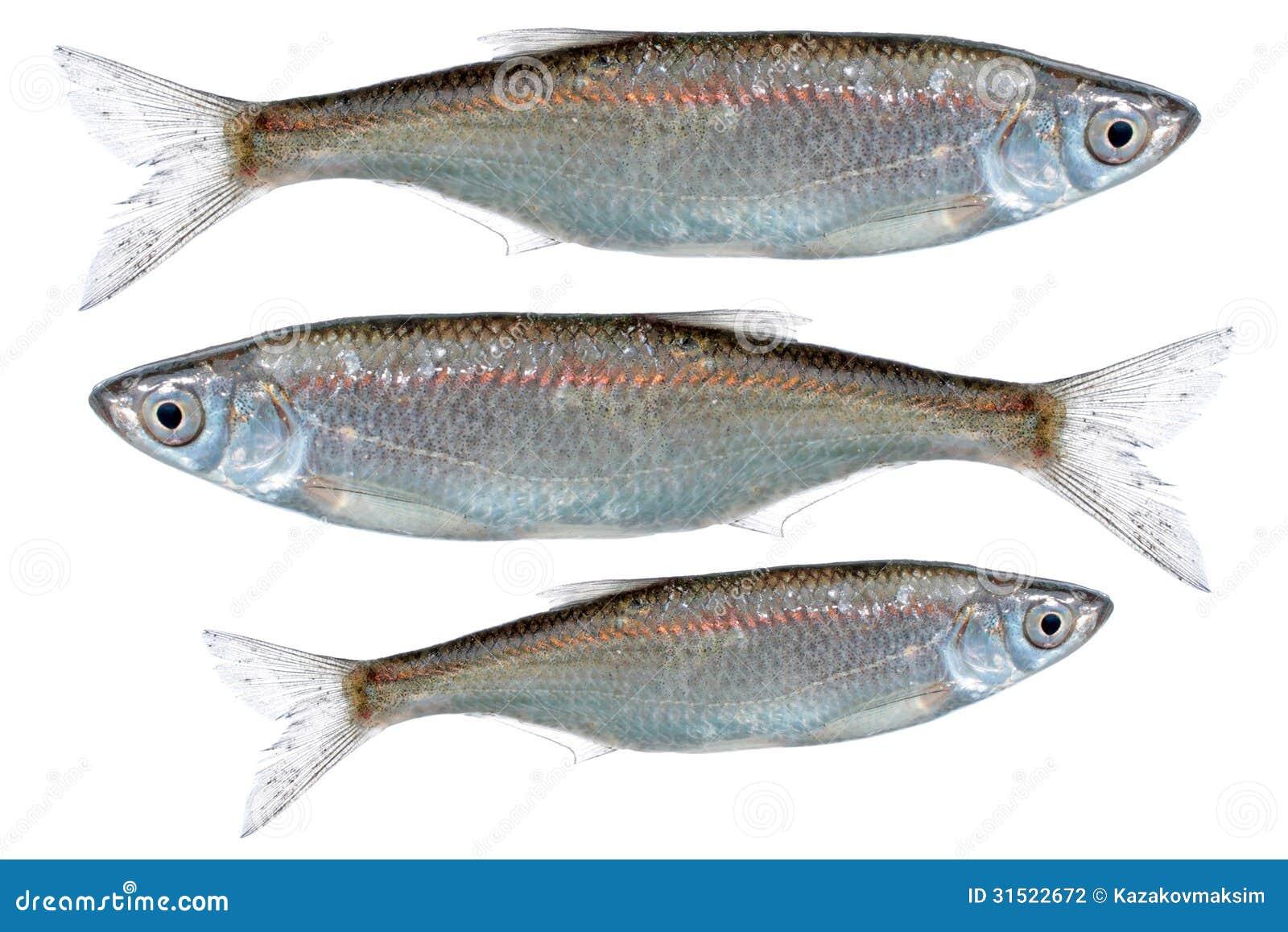 Common bleak alburnus alburnus stock photography image for Common freshwater fish