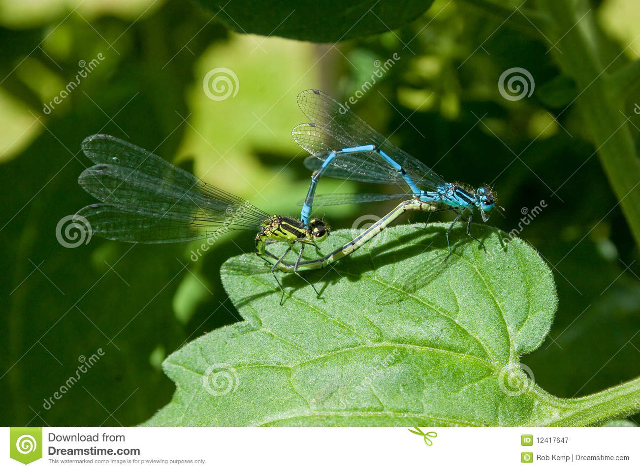 Common Blue Damselfly Mating Pair