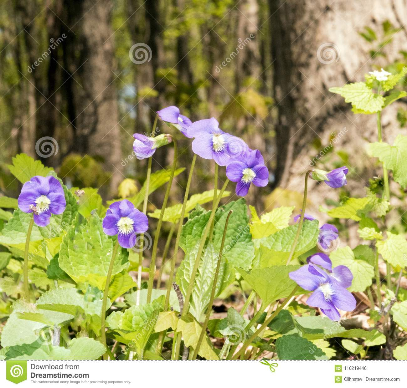 Common Blue Violets Stock Photo Image Of Group Closeup 116219446