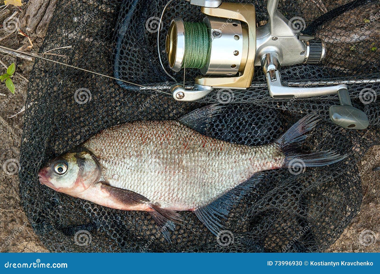 Freshwater fish bream - Common Bream Fish On Black Fishing Net Catching Freshwater Fish