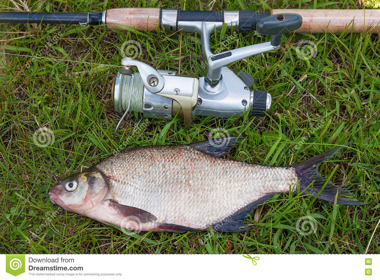 Freshwater fish bream - Common Bream Fish On Green Grass Catching Freshwater Fish And F