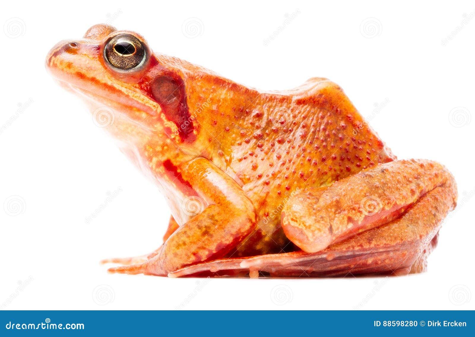 Common brown grass frog Rana temporaria