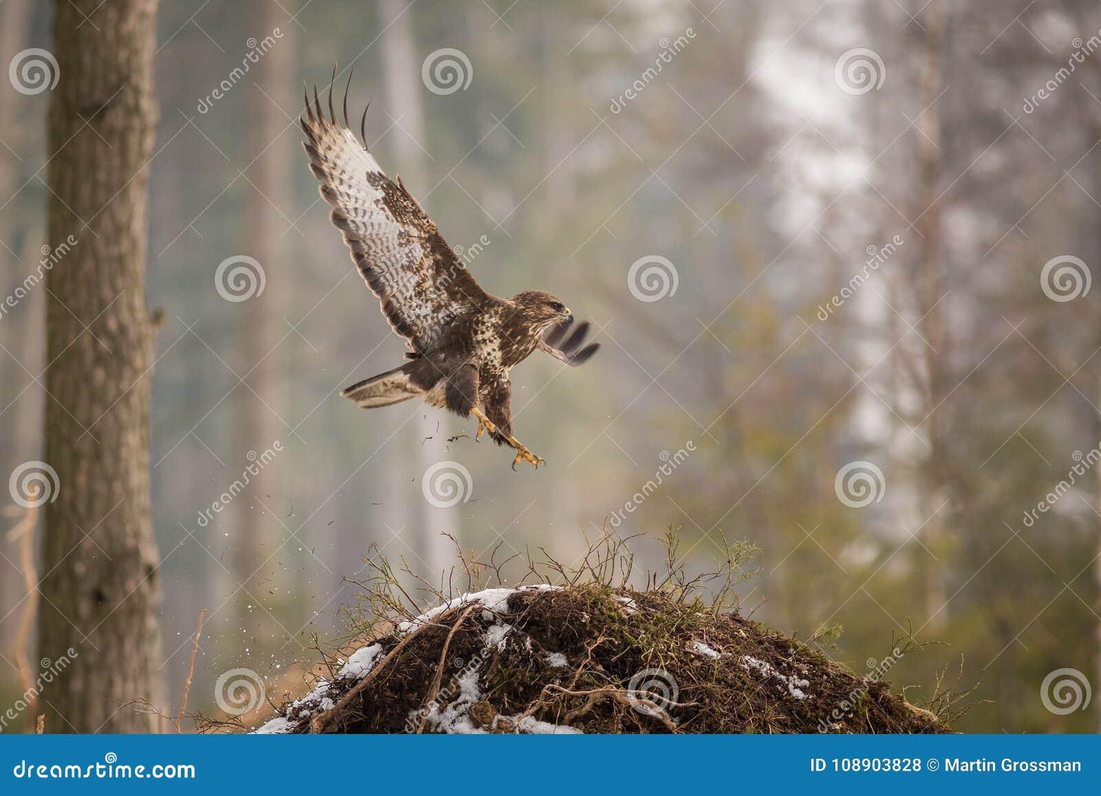 Common buzzard Buteo buteo in winter.