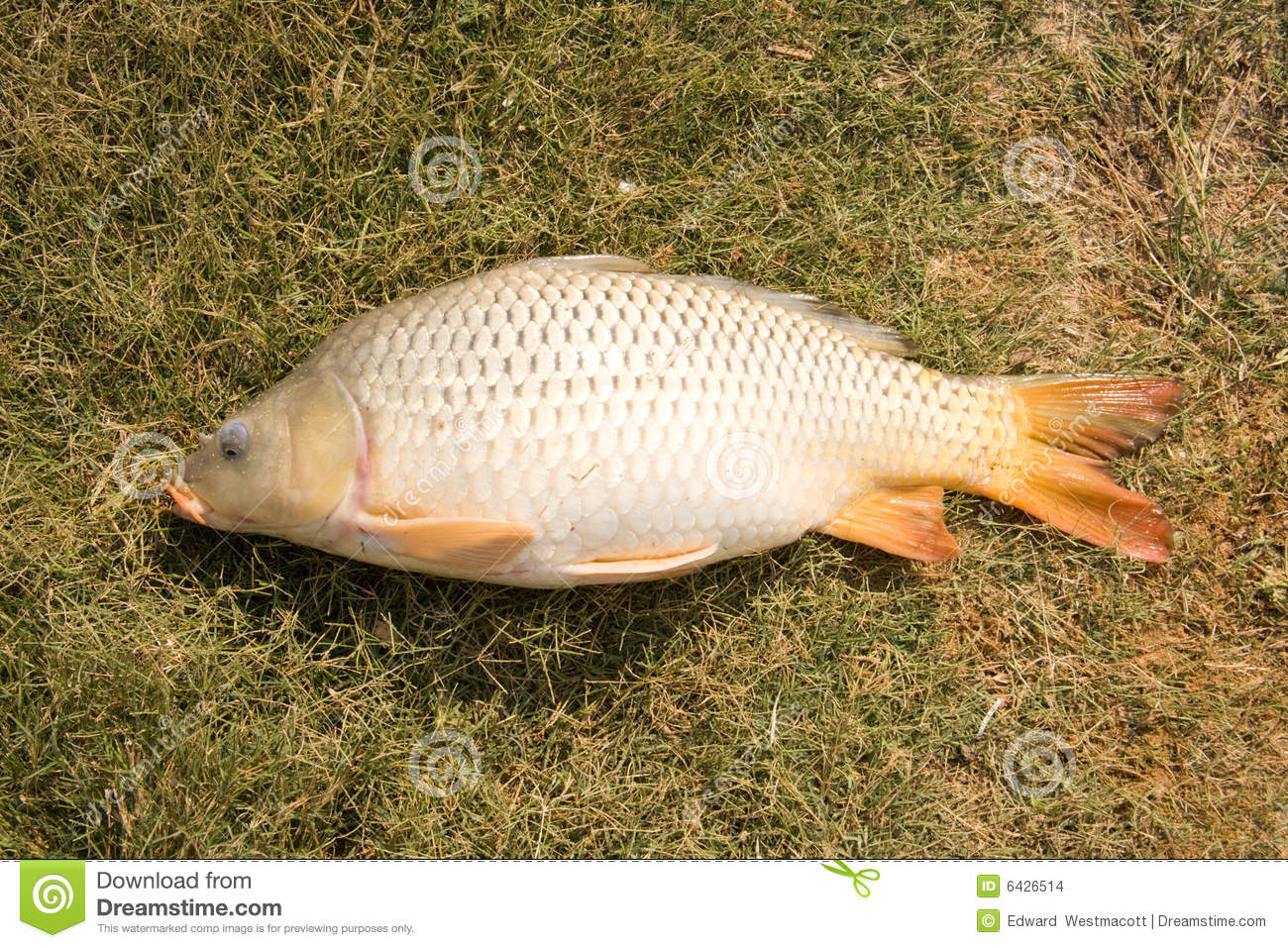 Common Carp On Grass Stock Images - Image: 6426514