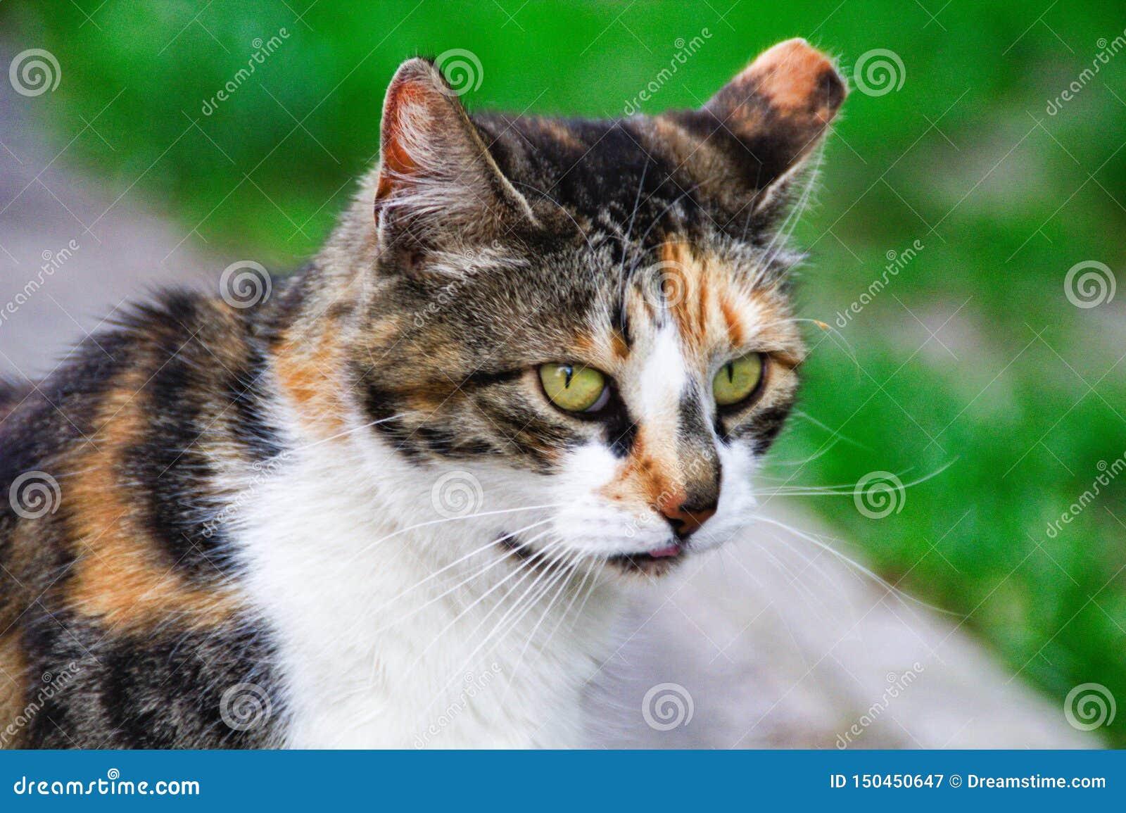 Common cat closeup