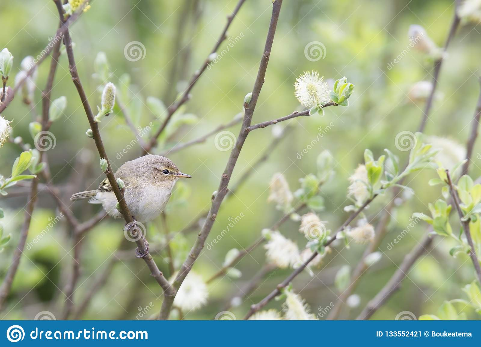 A common chiffchaff Phylloscopus collybita perched on a branch .With a beautiful light green coloured background with leafs and