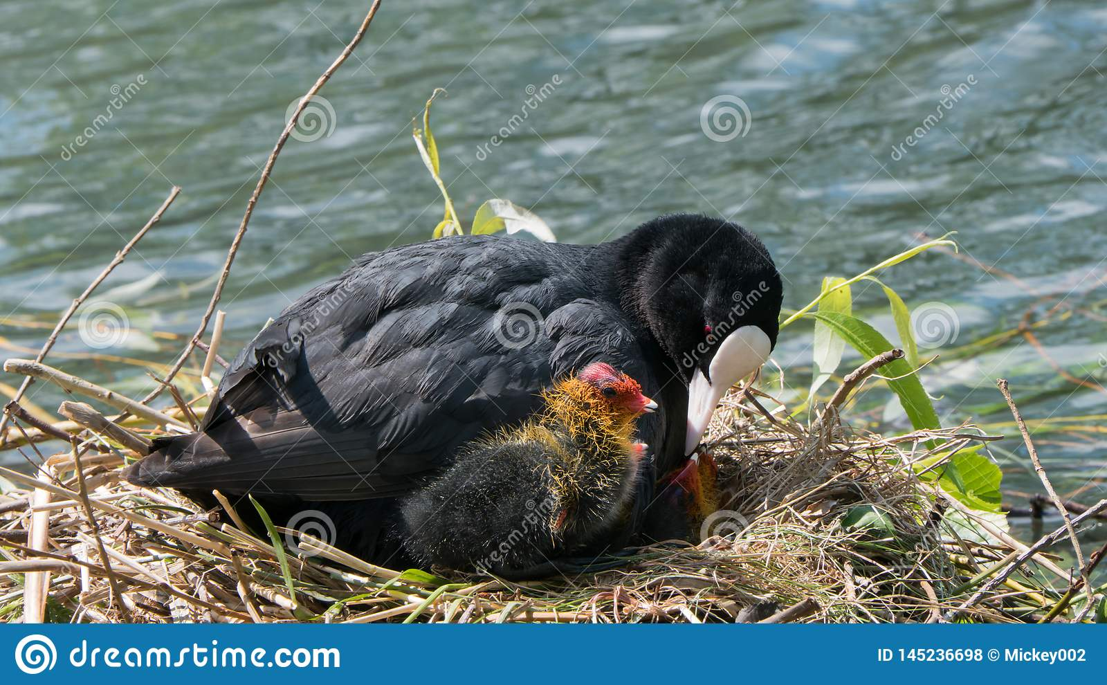Common  coot on nest