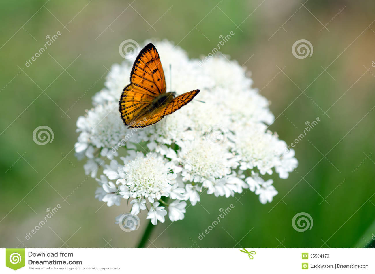 Download Common Copper butterfly stock image. Image of habitat - 35504179