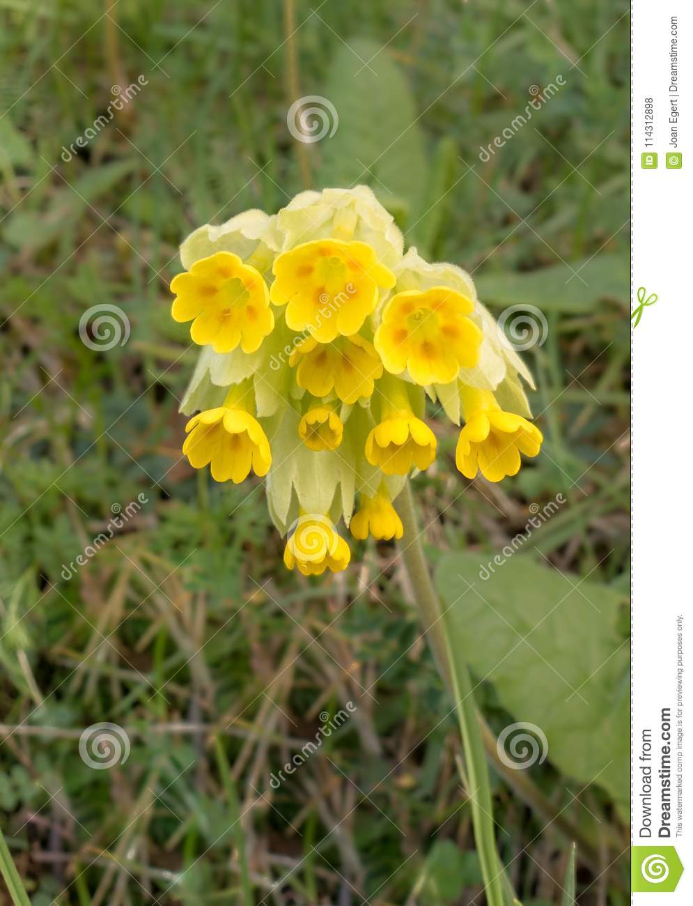 Common Cowslip In Yellow Flowers Stock Photo Image Of Growing